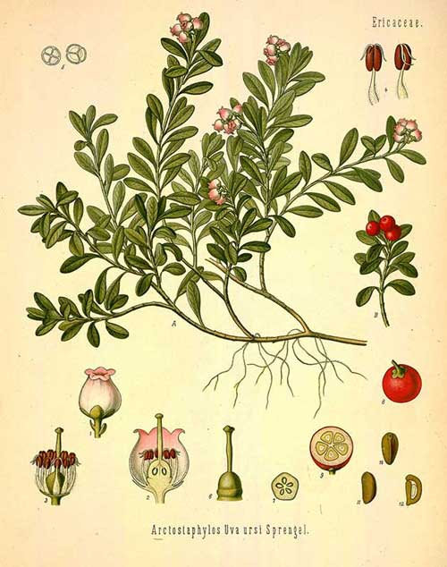 uva_ursi_botanical_drawing