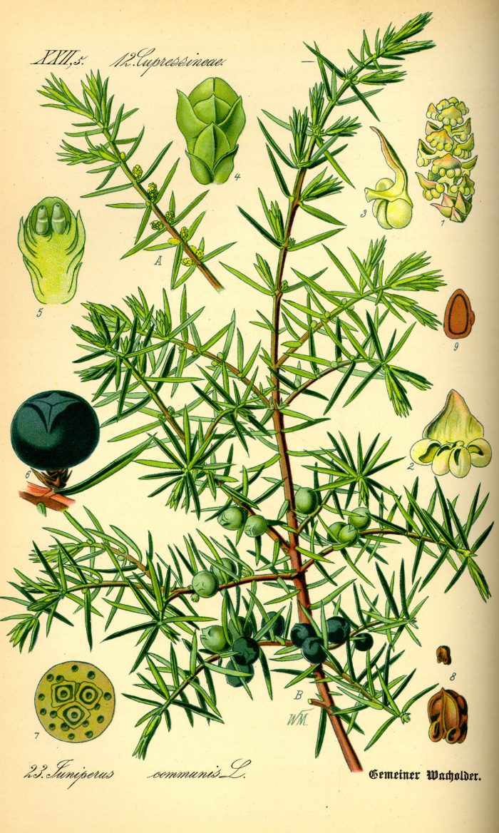 juniperus botanical